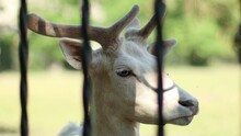 Portrait Of A Beautiful Rare Albino White Deer Face Stands Behind Metal Bars At The Zoo