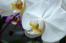 Sydney Australia, Flowering White Moth Orchid With Yellow And Red Markings