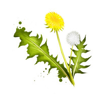 Cat's Ear Grass And Flower Isolated On White. Hand Drawn Illustration Of Hypochaeris Genus Of Plants In Dandelion Family. Flower Head With Yellow Ray Florets. Digital Art With Paint Splashes Effect
