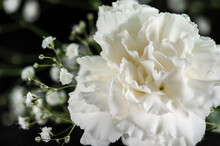 Close-up Of A White Carnation With Gypsophila On A Dark Background. Landscape Orientation, Limited Depth Of Field, Limited Copy Space