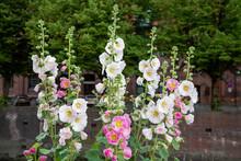 Bauernrosen - Stockrosen  In Einem Garten