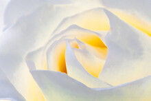 Chinese White Rose Feature