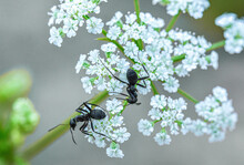 In The West Of Henan Funiu Area Live Insects Ant (macro Photography)