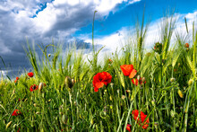Red Blossoms Of Corn Poppy (Papaver Rhoeas) On Green Wheat Field