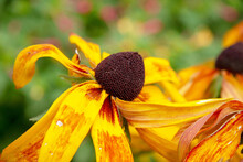 Yellow-black Flowers In The Garden In August. Flowers With Petals