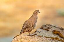 Quail In The Early Morning Light
