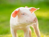 Fototapeta Sawanna - Happy piglet on the meadow. Young pig portrait.
