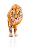 Fototapeta Sawanna - Tiger isolated on white background. Dangerous Amur Tiger jumping.