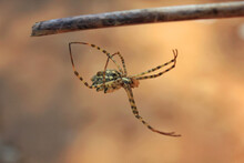 Selective Focus Shot Of An Argiope Lobata On The Branch