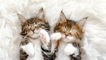 Grey Striped Kittens Wakes. Kittens Sleeping On A Fur White Blanket. Concept Of Adorable Cat Pets. High Quality Photo