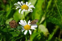Meadow Brown (maniola Jurtina) Butterfly Sitting On A Daisy In Zurich, Switzerland
