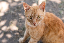 Portrait Of Ginger Yellow Cat Sitting On The Road Top View. View From Above Of Orange Cat  With Green Eyes Sitting On The Ground On Which The Sun's Rays Fall