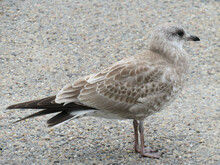 Profile Shot Of A Young European Herring Gull Standing On The Ground