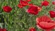 Red poppy flowers on a poppy field. Macro shot.
