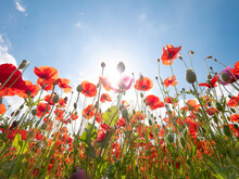 Opium Poppy ( Papaver Somniferum) And Common Poppy (Papaver Rhoeas) Against The Blue Sky In Summer Morning