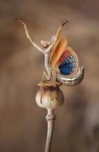 Vertical Closeup Of Iris Oratoria, Also Known As Mediterranean Mantis Or Iris Mantis.