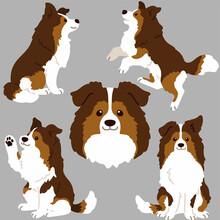 Flat Colored Simple Shetland Sheepdog Illustrations