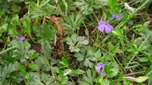 Periwinkle. Lovely Little Purple Flowers In The Meadow. Green Leaves And Grass With Water Drops. The Grass Twitches In The Wind. Flowers In The Wild. Forest Glade With Beautiful Flowers