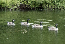 Four Canadian Geese Swimming Along In Pond