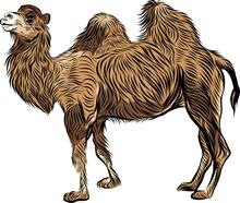 Bactrian Camel Hand Drawn Sketch