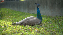 Peacock In The Grass
