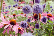 Echinacea 'Pink Parasol' And Echinops Ritro Veitch's Blue Globe Thistle In Flower