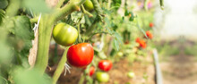 Ripening Tomatoes In Greenhouse. Vegetable Growing. Farming, Gardening Concept