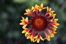 Yellow Gaillardia Flowers In The Garden Close-up