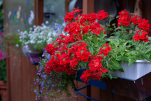 Red Verbena Flowers In A Hanging Box, Close-up