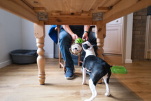 A Dog Toy Being Held By A Man And Pulled By A Boston Terrier Puppy Under A Wooden Table