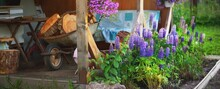 Blooming Blue Lupine And Pink Petunia Flowers In A Green Summer Garden Close-up, Old Rusty Cart With Firewood In The Background. Idyllic Country Landscape. Finland