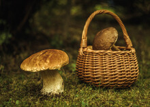 An Edible Large White Mushroom Grows In The Green Grass In The Forest, Next To A Wicker Basket With Collected Mushrooms On The Ground.