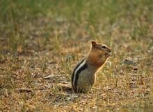 Golden Mantled Ground Squirrel In Grass