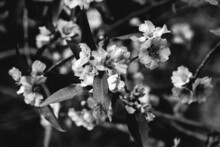 Detail Of Beautiful Little White Flowers Blossom In Branches With Leaves (in Black And White)