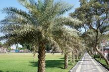 Dwarf Date Palm On Nature