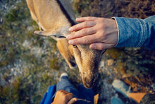 Boy A Child Of Four Years 4 Walks With Goats On A Mountain In Dagestan During Sunset