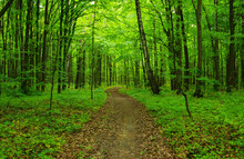 Green Forest In Spring