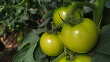 Ripe Green Tomatoes On A Branch With The Blurred Background