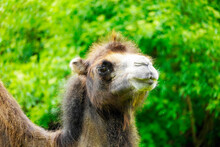 Portrait Of A Camel With A Green Background. Camelus Bactrianus. Funny Brown Fur Mammal Close Up