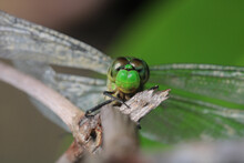 Closeup Shot Of A Large Dragonfly On A Branch