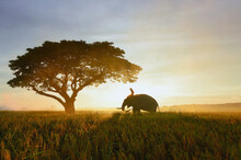 Thailand, The Mahout, And Elephant In The  Ricefield During The Sunrise Landscape View,Silhouette Elephant On The Background Of Sunrise