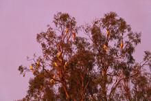 Cockatoos In Gum Tree At Dusk