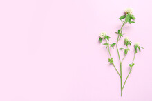 Beautiful Blooming Clover Plant On Pink Background, Top View. Space For Text
