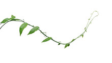 Twisted Jungle Vines Climbing Plant Isolated On White Background With Clipping Path. Green Leaves Vines Of Tiliacora Triandra Medicinal Plant Native To Southeast Asia.