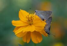 Closeup Shot Of Two Butterflies On A Yellow Tickseed Flower