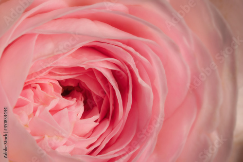 Fotografie, Obraz Macro closeup of blossom sweet pastel pink rose and its blooming flower petals for valentines day, wedding nature background and love concept