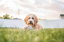 Bernedoodle Dog Laying In The Grass At Sunset