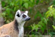 Ring-tailed Lemur Head, Madagascar
