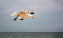 Ivory Gull Flies Over The Sea In Search Of Food