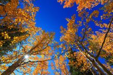 Tall Colorful Aspen Trees Reaching Blue Sky In Autumn Time
